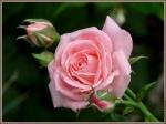 branche de roses